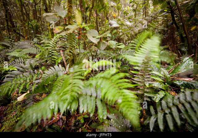 Ferns in windy and wet conditions in the cloudforest at Cerro Gaital, El Valle de Anton, Cocle province, Republic - Stock-Bilder