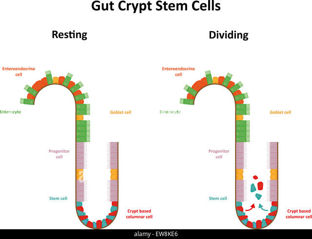 Gut Crypt Stem Cells - Stock Image