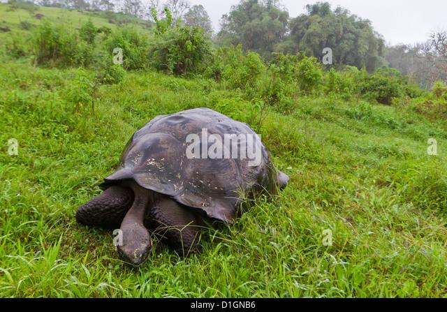 Wild Galapagos tortoise (Geochelone elephantopus), Santa Cruz Island, Galapagos Islands, UNESCO World Heritge Site, - Stock-Bilder