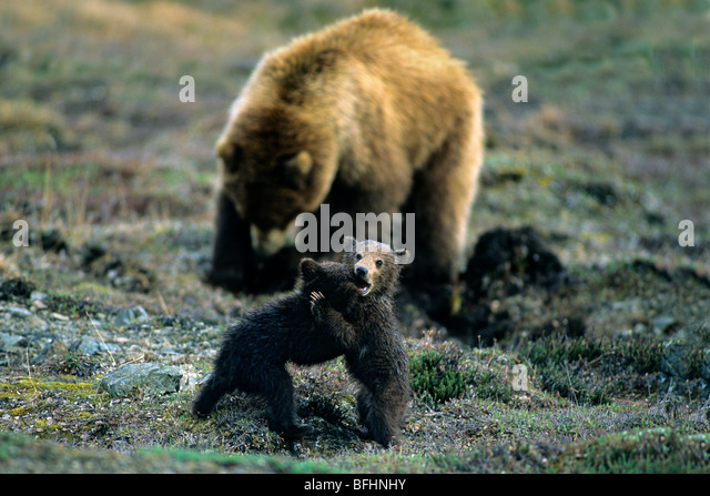 Brown bear (Ursus arctos) cubs and  mother dig for nutritious plant roots in the background, northern Yukon, Arctic - Stock Image