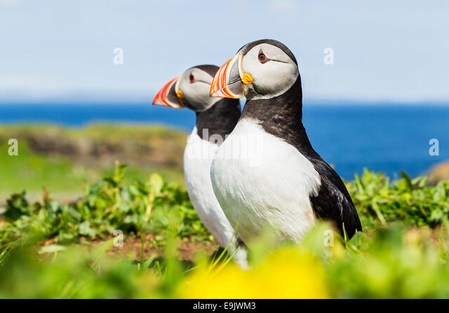 Atlantic puffin (Fratercula arctica) standing outside their burrow - Stock Image