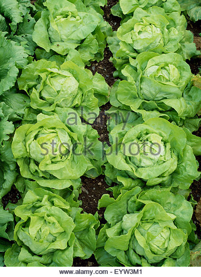Lettuce - Lactuca sativa 'Dynamite' - Stock Image