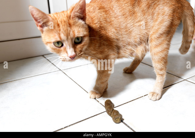 Cat Embarassed by House Soiling - Stock Image