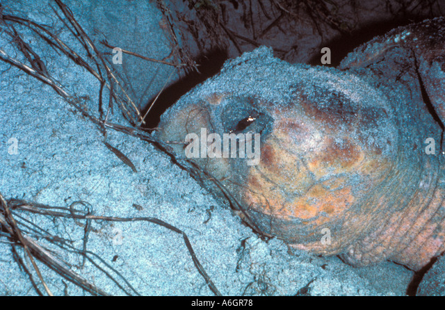 Loggerhead Sea Turtle Nesting on Beach Tear in Eye Head Closeup - Stock Image