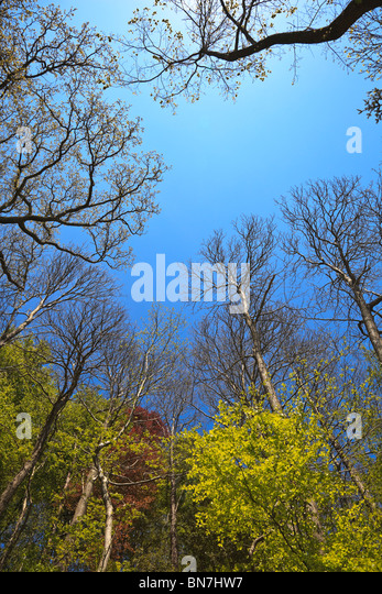 Deciduous woodland showing new leaf growth in early summer with blue sky - Stock Image