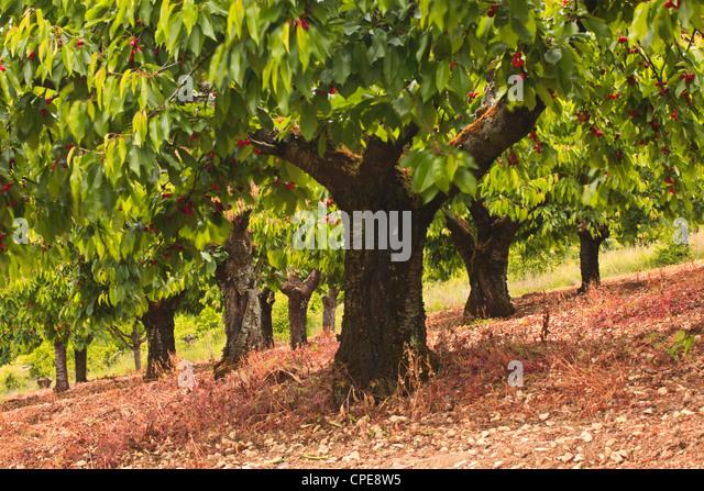 Fruit trees stock photos fruit trees stock images alamy - Romanian cherry tree varieties ...