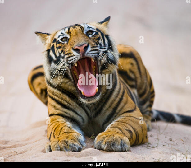 Wild Bengal Tiger lying on the road in the jungle. India. Bandhavgarh National Park. Madhya Pradesh. An excellent - Stock Image