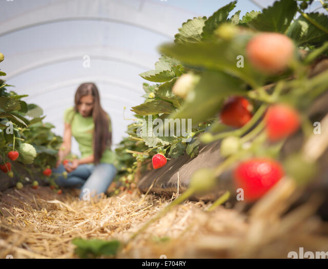 Worker picking strawberries in fruit farm - Stock Image