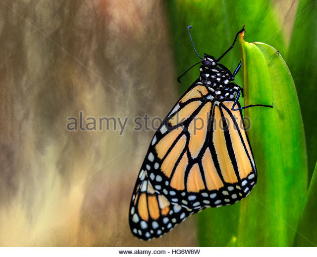 Monarch Butterfly poised on green stem against impressionist background - Stock Image