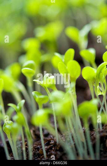 Lettuce seedlings (Lactuca sativa var. acephala) in a cultivator. - Stock Image