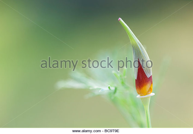 Eschscholzia californica. Californian poppy emerging from bud - Stock Image