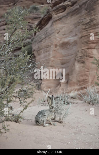 Rabbit in desert - Stock Image