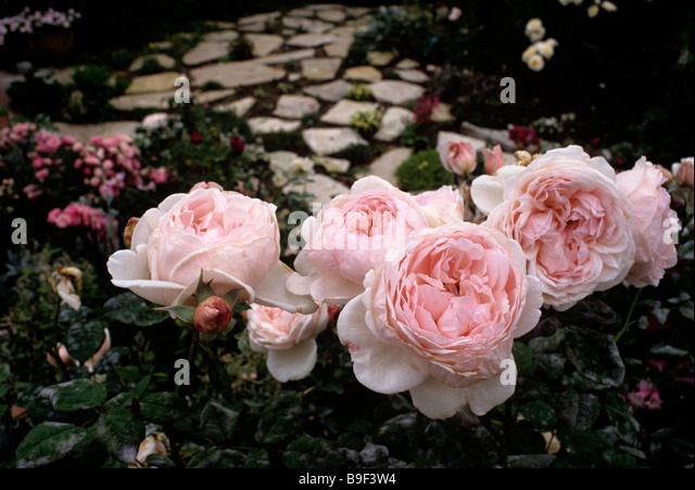 Chaucer a David Austin, English Rose - Stock Image