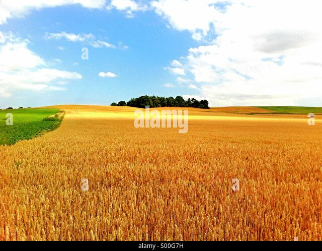 England Suffolk Landscape field of Barley with Tree copse on skyline summertime - Stock Image