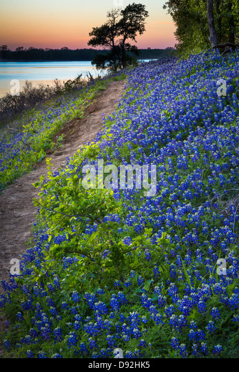 Bluebonnets at Grapevine Lake in North Texas - Stock-Bilder