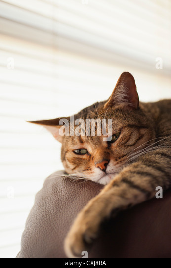 Cat relaxing on couch, close up - Stock Image
