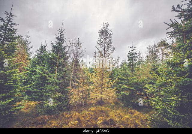 Cloudy weather in a pine tree forest in October - Stock Image