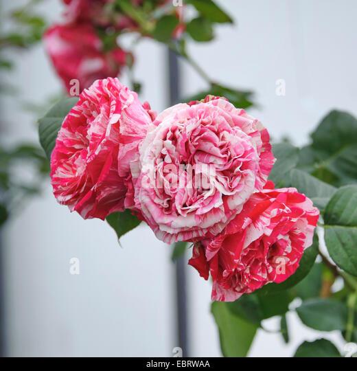 hybrid tea rose stock photos hybrid tea rose stock. Black Bedroom Furniture Sets. Home Design Ideas