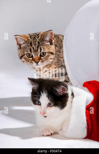 British Shorthair (Felis silvestris f. catus), house kitten in Santa's hat with striped British Shorthair kitten - Stock Image