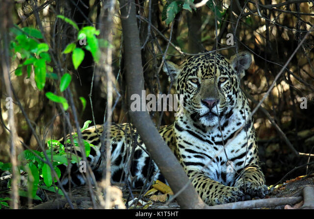 Jaguar Lying on the Ground, Looking into the Camera. Pantanal, Brazil - Stock Image