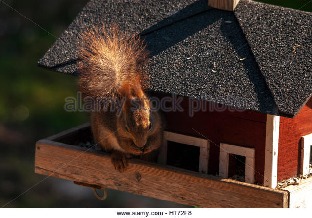 Squirrel eating on the verandah of a birdfeeder, or birdhouse. - Stock Image