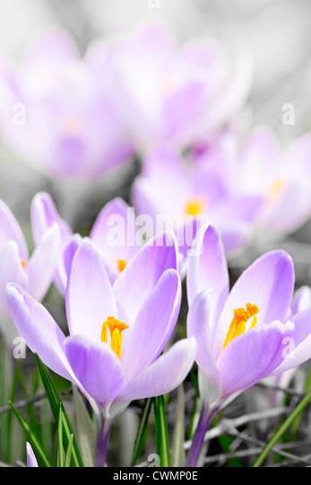 Closeup of beautiful purple crocus flowers blossoming - Stock Image