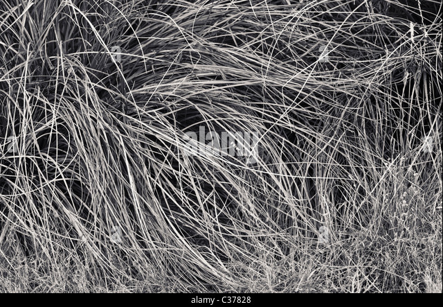 Reeds / grasses growing in the foothills of the Sandia mountains near Albuquerque, New Mexico, USA. - Stock Image