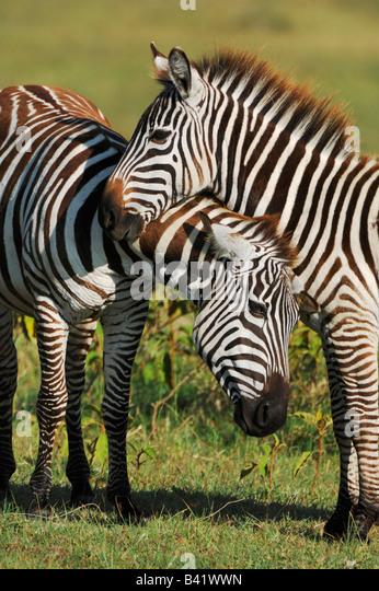 Plains Zebras Equus quagga pair Lake Nakuru Kenya Africa - Stock Image