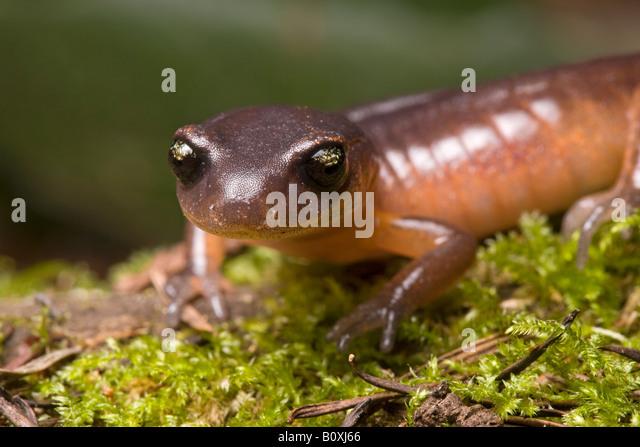 Yellow eyed salamander San Jose California - Stock Image