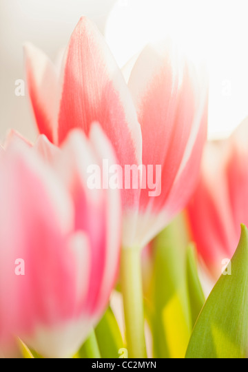 Studio shot of pink tulips - Stock Image