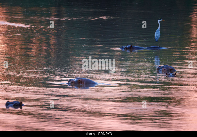 a heron perched on a hippopotamus in the Shingwedzi River at dawn, Kruger National Park, South Africa - Stock-Bilder