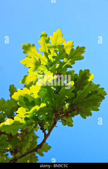 Bright green new Oak leaves against a blue sky - Stock Image