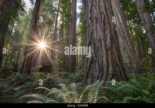 USA, California, Humboldt Count, Eureka, Redwood National Park, Deep in forest - Stock Image