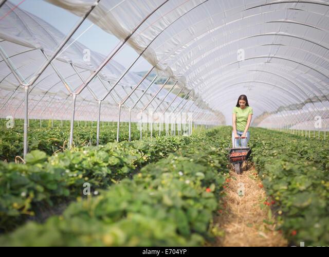Worker pushing wheelbarrow of strawberries in fruit farm - Stock Image