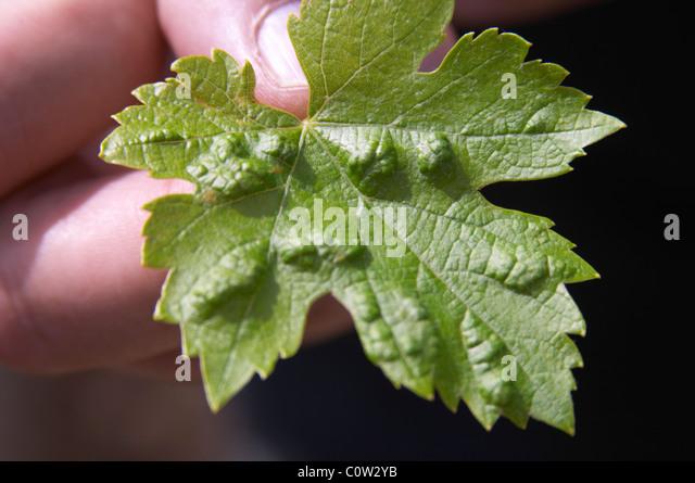 Vine leaf showing attack by phylloxera vastatrix, vine louse le cellier des princes chateauneuf du pape rhone france - Stock Image
