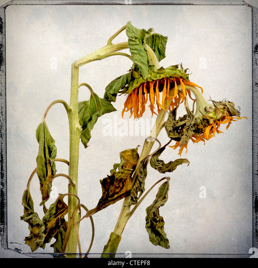 Withered sunflowers - Stock Image