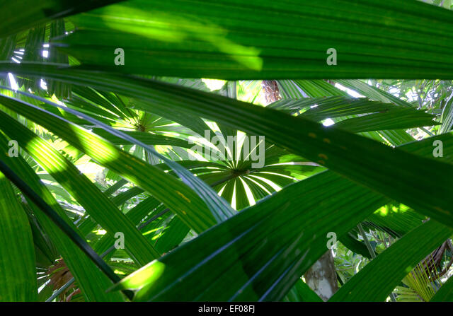 Fan palm leaves in the sun - Stock Image