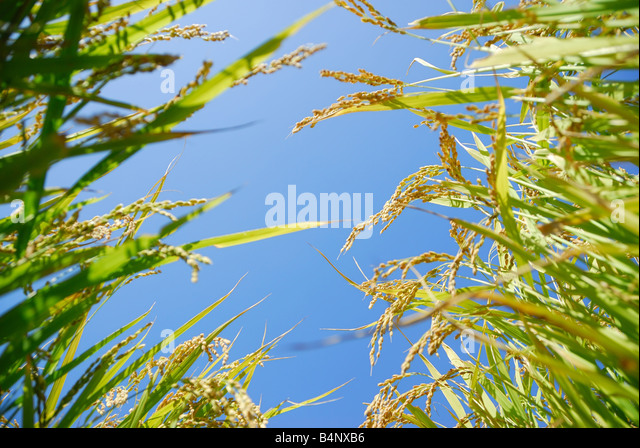 rice plants - Stock Image