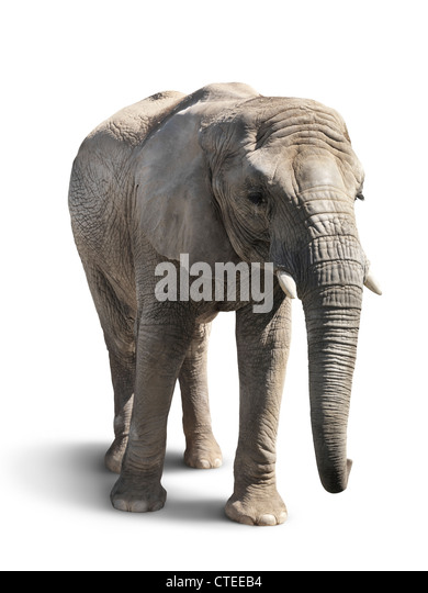 African elephant isolated on white background with a clipping path - Stock Image