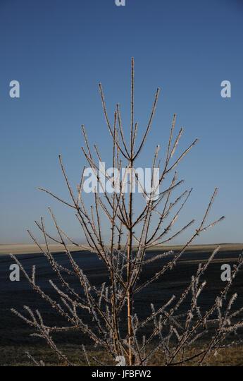 Prunus avium, Sweet Cherry, White Frost - Stock Image