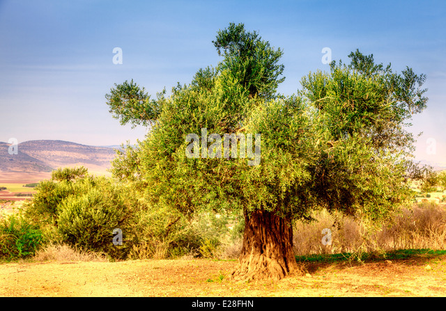 Old olive tree - Stock Image