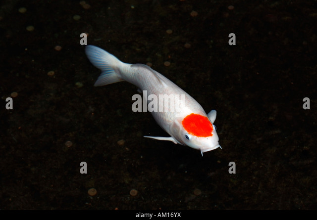 Japanese carp stock photos japanese carp stock images for Koi kohaku japanese