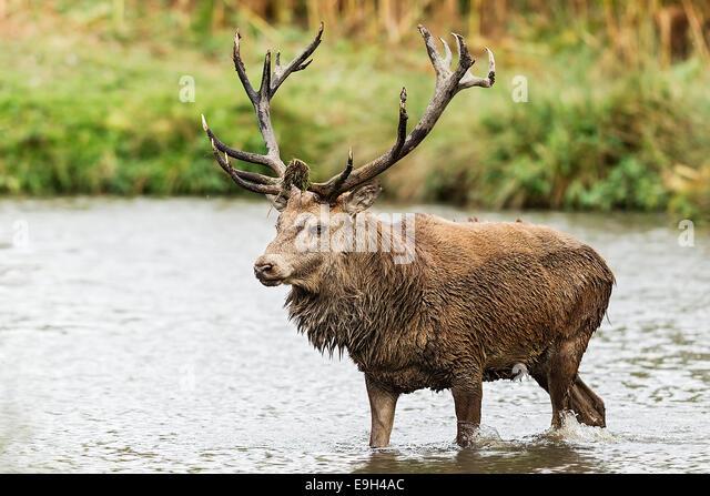 Red deer (Cervus elaphus) stag during the annual rut - Stock Image