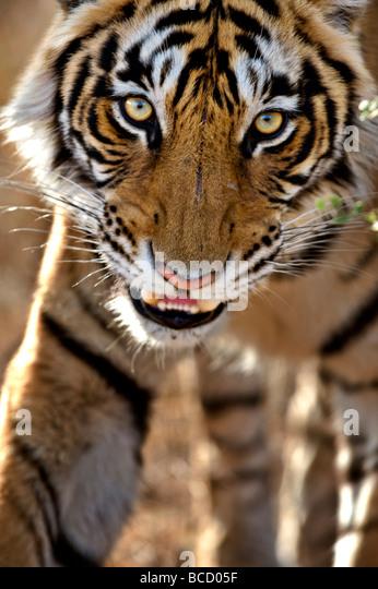Bengal Tiger (Panthera tigris tigris) stalking. Ranthambore. India - Stock Image