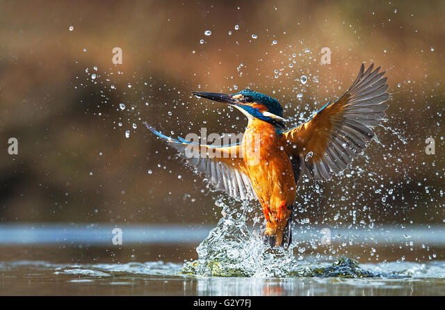 Kingfisher emerging from the water - Stock Image