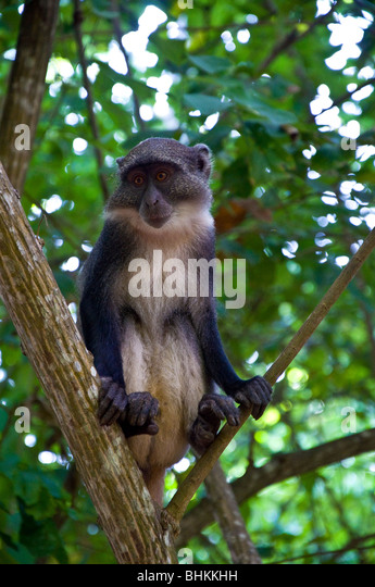 Monkey at Gedi Ruins, Watamu, Kenya, Africa - Stock Image