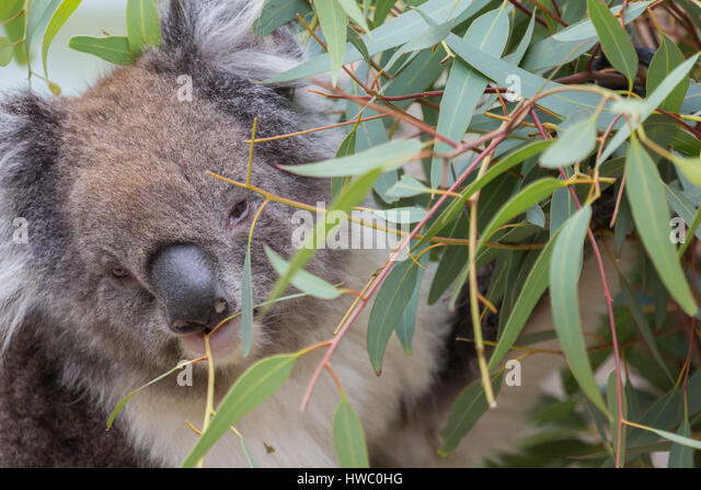 Koala (Phascolarctos cinereus) - Stock-Bilder