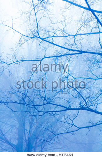 Trees in a fog on a mysterious ghostly moody blue foggy day - Stock Image