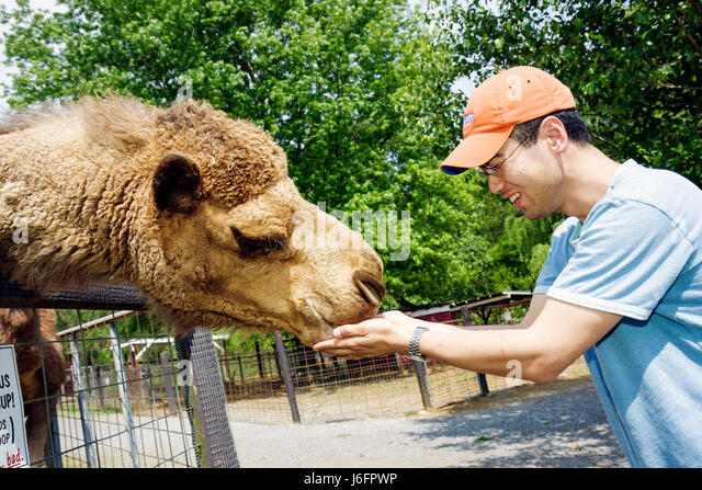 Tennessee Sevierville Smoky Mountain Deer Farm and Exotic Petting Zoo camel Asian man hand feed dromedary mammal - Stock Image