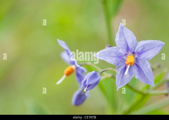 Blue flowers and yellow stamen of Solanum crispum, the Chilean potato tree. - Stock Image